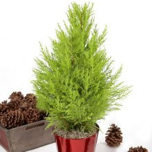Egrow 50PCS Italian Cypress Tree Seeds