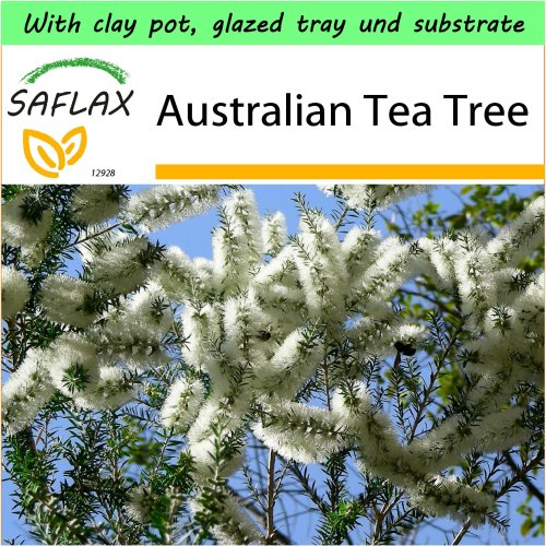 SAFLAX Garden to Go - Australian Tea Tree - Melaleuca - 400 seeds