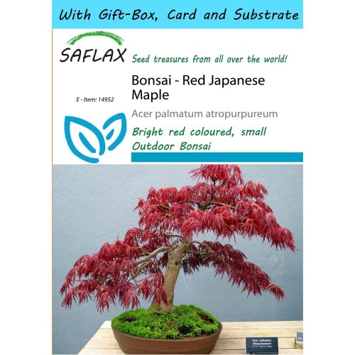 Saflax Gift Set - Bonsai - Red Japanese Maple - Acer Palmatum Atropurpureum - 20 Seeds - with Gift Box, Card, Label and Potting Substrate