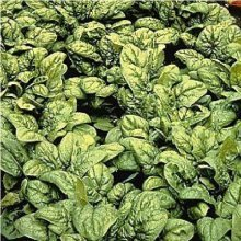 Vegetable - Spinach - Medania - 750  Seeds