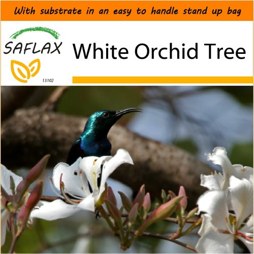 SAFLAX Garden in the Bag - White Orchid Tree - Bauhinia - 5 seeds