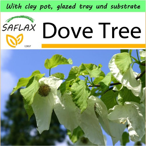 SAFLAX Garden to Go - Dove Tree - Davidia - 1 seeds