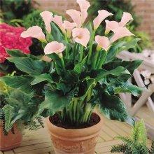 Egrow 50PCS Calla Lily Seeds