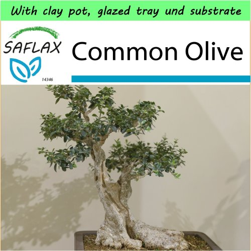 SAFLAX Garden to Go - Bonsai - Common Olive - Olea - 20 seeds