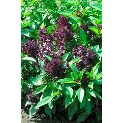 Herb - Basil - Siam Queen - 150 Seeds