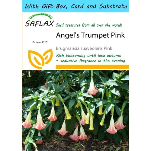 Saflax Gift Set - Angel's Trumpet Pink - Brugmansia Suaveolens Pink - 10 Seeds - with Gift Box, Card, Label and Potting Substrate