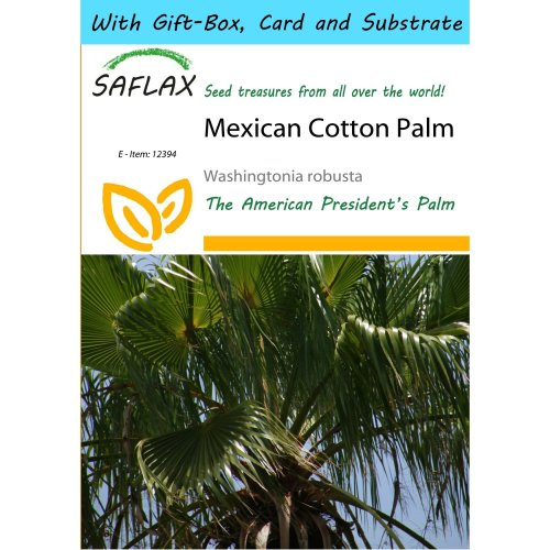 Saflax Gift Set - Mexican Cotton Palm - Washingtonia Robusta - 12 Seeds - with Gift Box, Card, Label and Potting Substrate